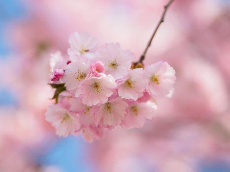 Заставки цветущая ветка,цветы,макро,дерево,весна,цветение,флора,Sakura Bavariae