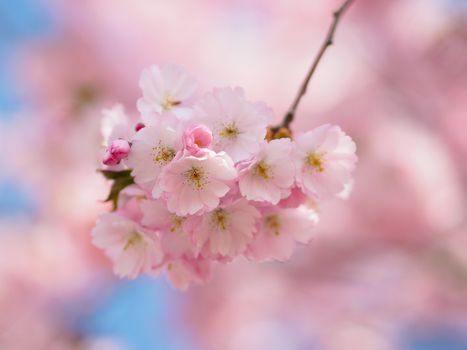 Photo free spring, flowering branch, bloom