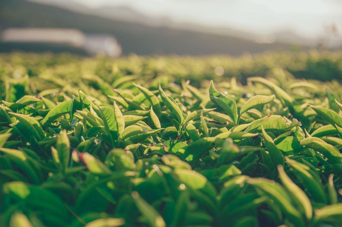 Фото бесплатно растение, лист, пейзаж, зеленый, лучик солнечный, растительность, урожай, сельское хозяйство, поле, трава, небо, плантация, трава семьи, природа