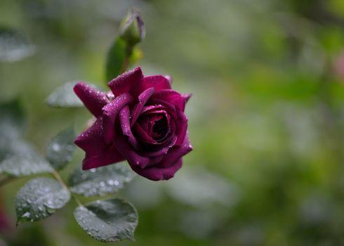 Фото бесплатно роса, капли, бордовый