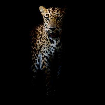 Заставки леопард, животное, портрет леопарда