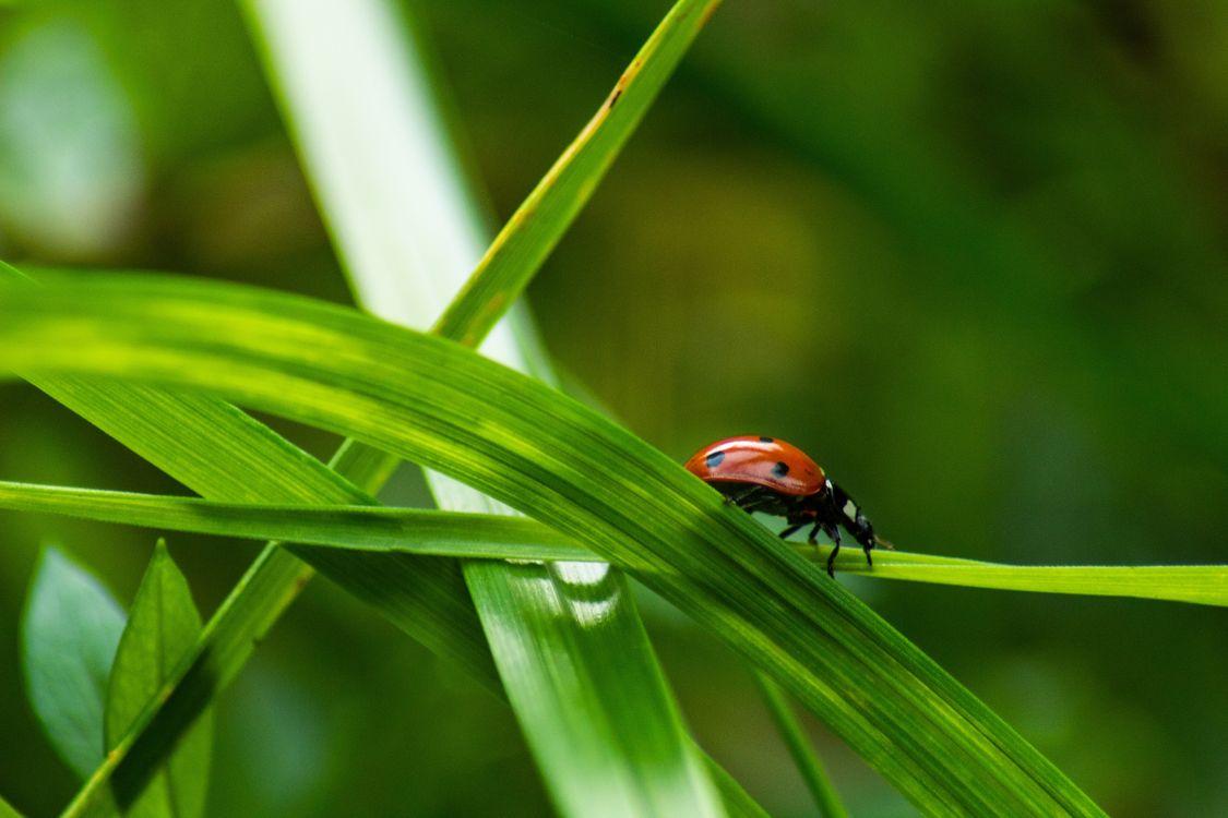 Фото бесплатно насекомое, божья коровка, трава - на рабочий стол