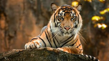 Тигр лежит на камне · бесплатное фото