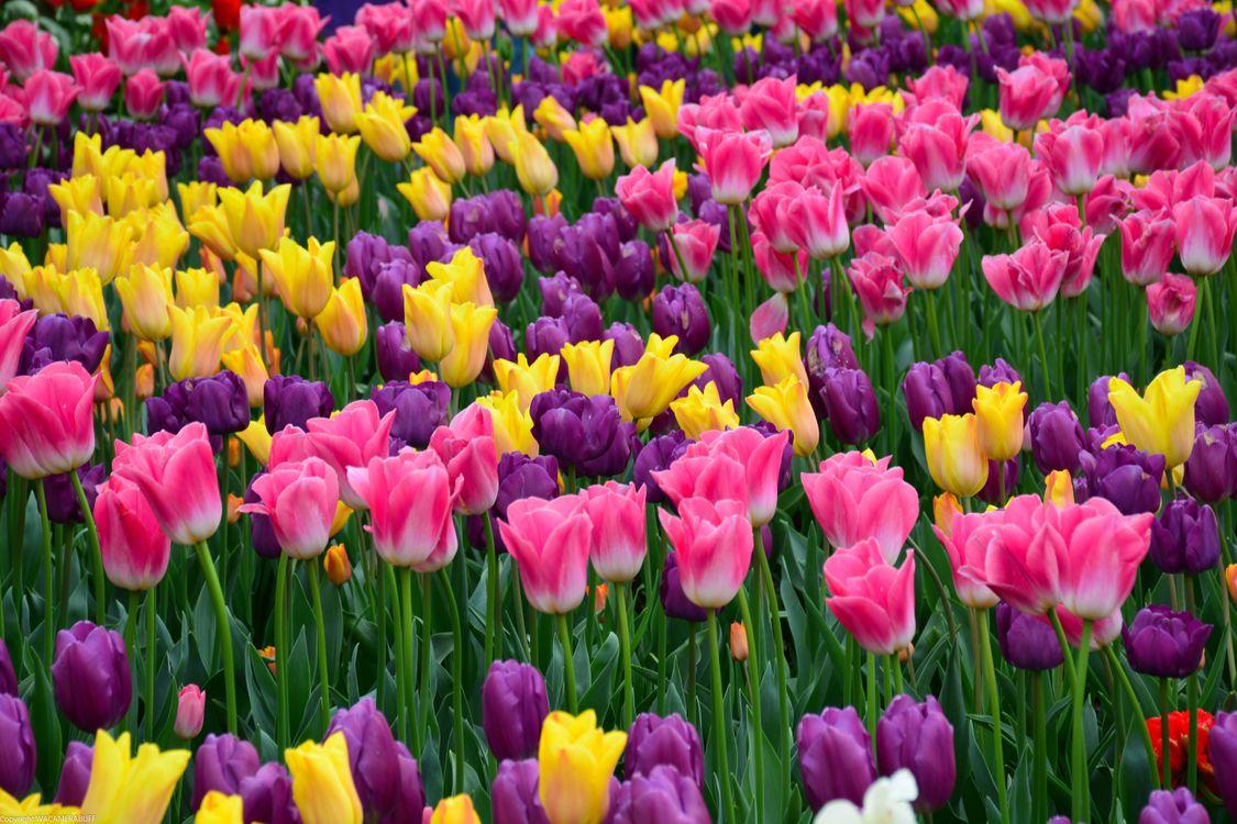 Голландские тюльпаны · бесплатное фото