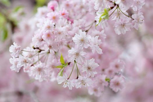 Дерево яблоня весной
