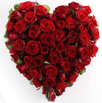 Download red rose free wallpaper