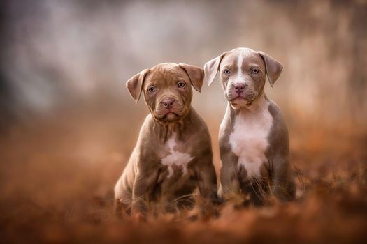 A couple of small pit bulls · free photo