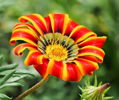 Заставки Gazania,цветок,макро,флора