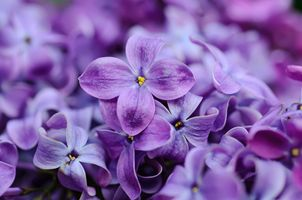 Lilac flowers · free photo