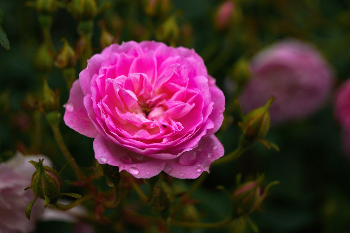 Фото бесплатно цвести, растение, цветок, лепесток, роза, весна, розовый - на рабочий стол