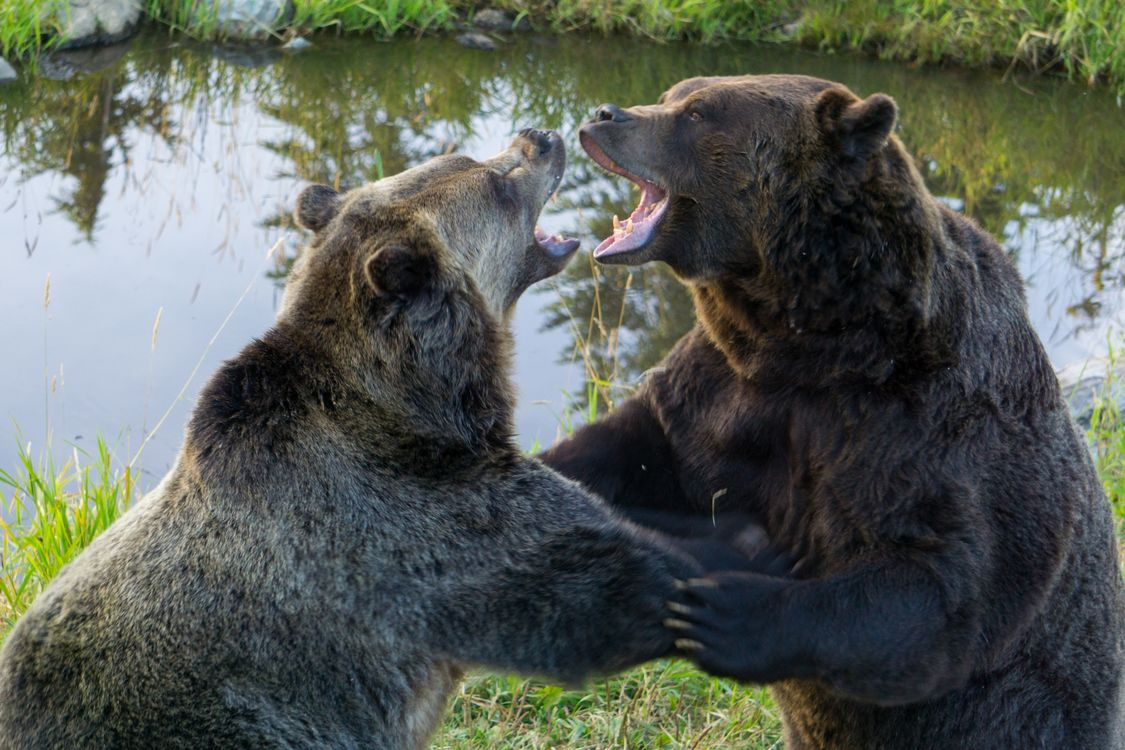 Фото бесплатно медведи, гризли, разговор - на рабочий стол