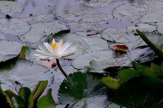 Пруд зарастает лилиями