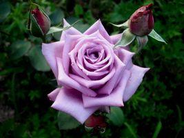 Заставки цветок, фиолетовые розы, роза