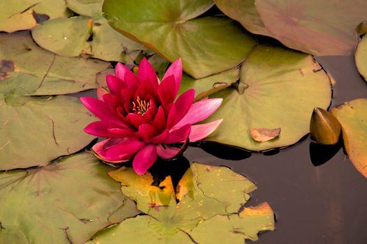 Фото бесплатно флора, водоем, водяная лилия