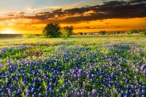Фото бесплатно цветочное поле, люпин, поле