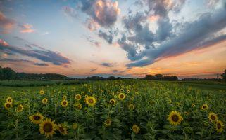Бесплатные фото закат,поле,цветы,подсолнухи,флора,пейзаж
