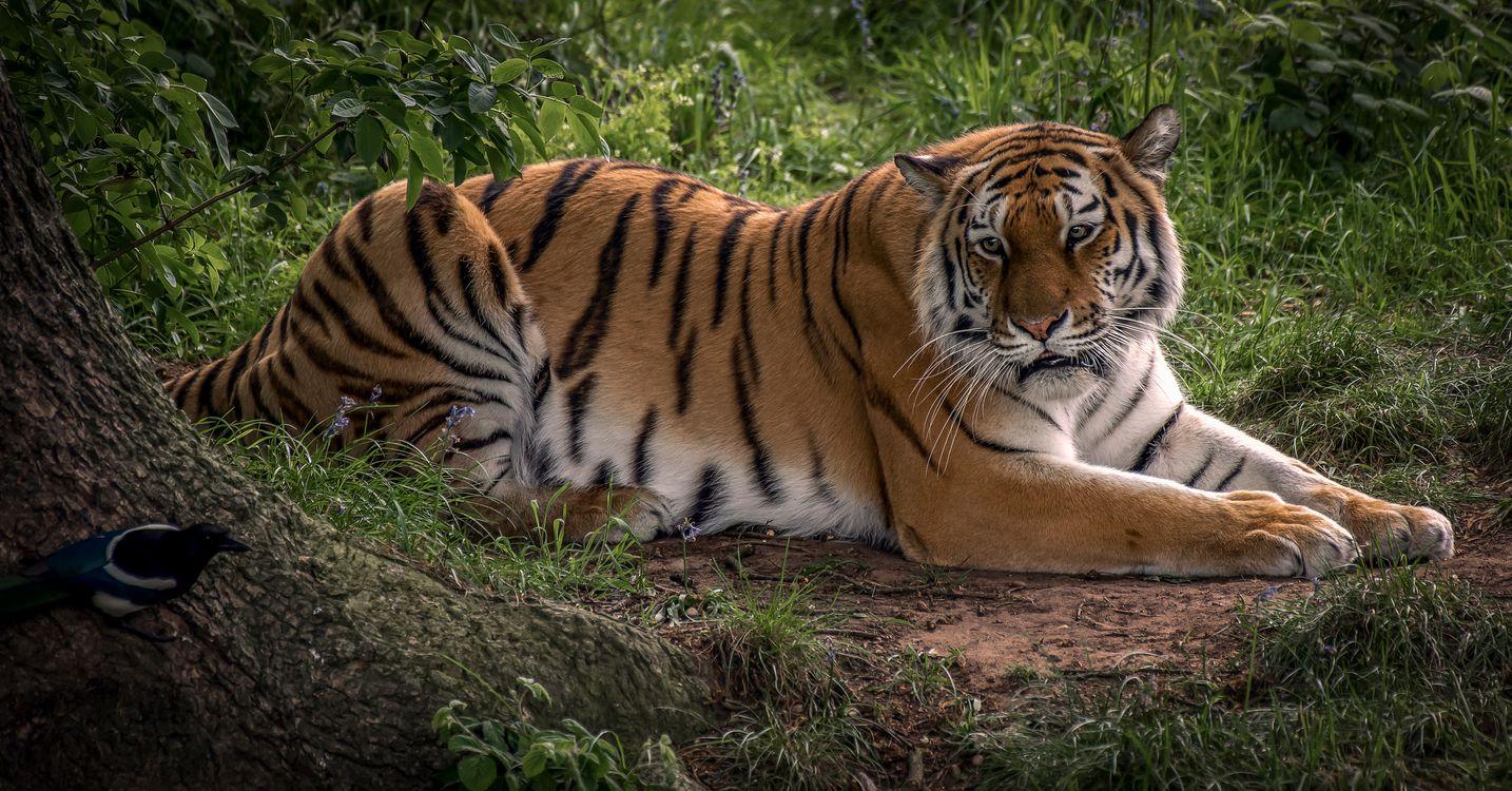 Заставка амурский тигр, большая кошка на экран
