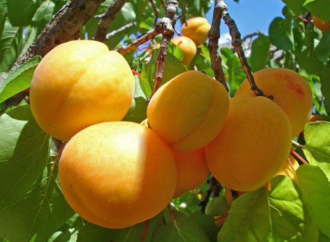Photo free apricots, fruits, leaves