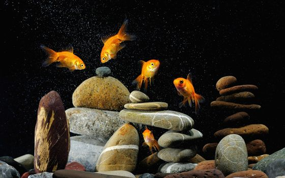 Заставки Аквариум, золотые, рыбки