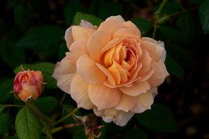 Фото бесплатно макро, роза, композиция из цветов