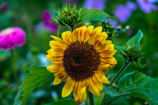 Заставки подсолнух,цветок,флора
