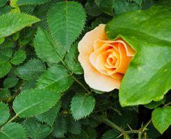 Заставки флоры, листья, роза