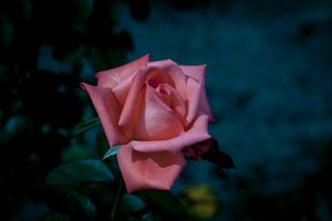 Заставки бутон, ветка, роза