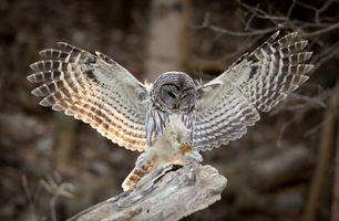 Фото бесплатно птица, перья, сова