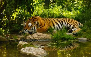 Photo free tiger at rest, outdoors, pond