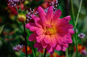 Фото бесплатно георгин, цветок, цветы, цветение, флора