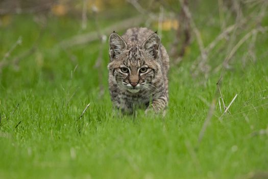 Photo free cats, big cat, lynx