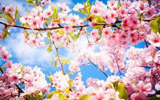Заставки цветение, Ветка, Сакура, весна