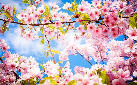 Фото бесплатно весна, цветение, сакура