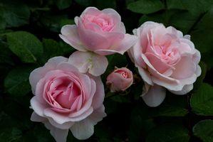 Фото бесплатно роза, белые, роса