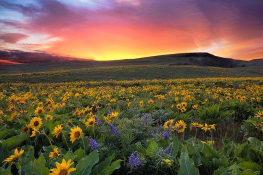Бесплатные фото Sunset at Columbia Hills State Park,Washington,поле,цветы,закат,холмы,пейзаж