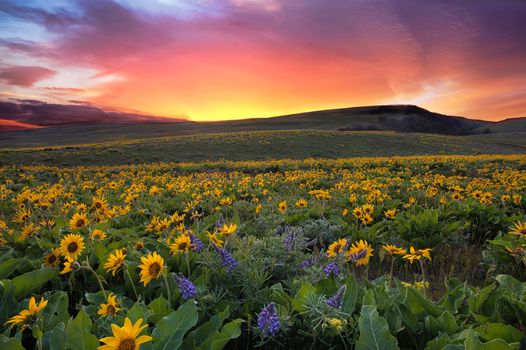 Заставки Sunset at Columbia Hills State Park, Washington, поле, цветы, закат, холмы, пейзаж
