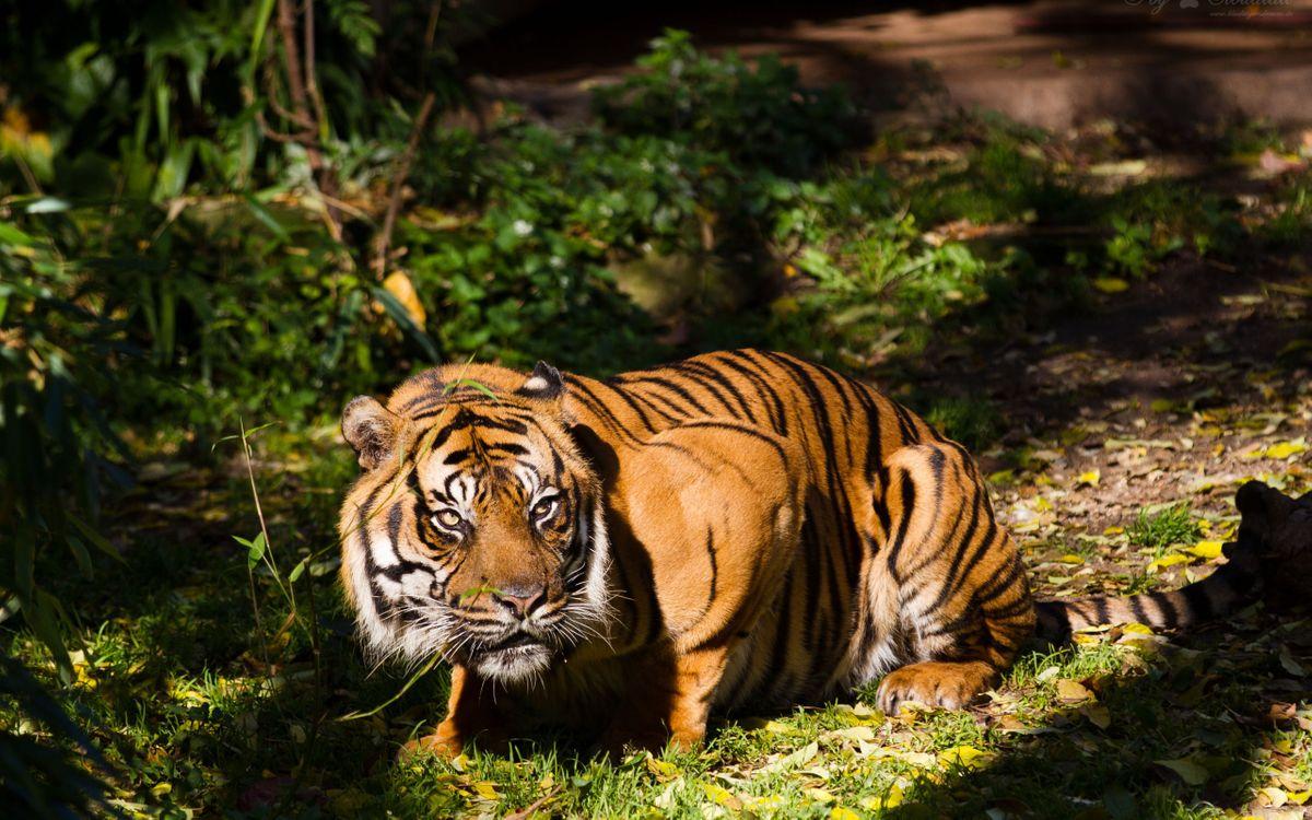 Грозный тигр · бесплатное фото