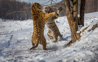 Фото бесплатно тигр, два тигра, бой