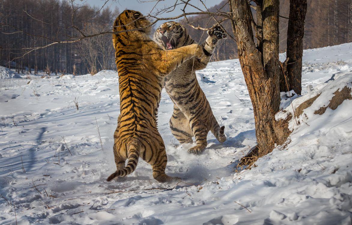 Фото бесплатно тигр, два тигра, бой, драка, клыки, когти, стойка, хищник, животное, тигры, животные, хищники, животные