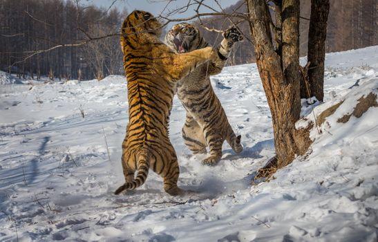 Бесплатные фото тигр,два тигра,бой,драка,клыки,когти,стойка,хищник,животное,тигры,животные,хищники