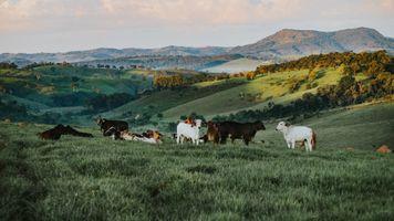 Вислоухие коровки на фоне гор