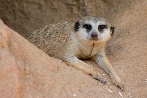 Фото бесплатно meerkat, уставший, норма, песок, suricate, suricata, suricatta, сурикаты, сурикат, meerkat family, животные