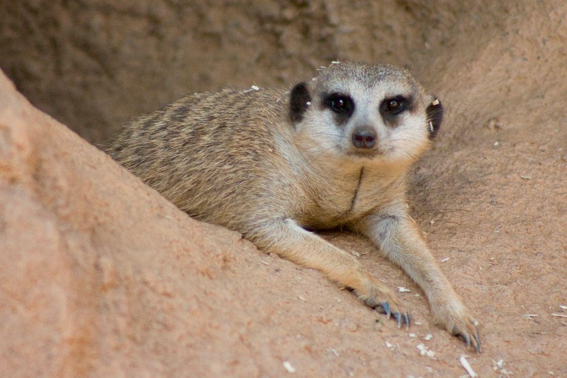 Фото бесплатно meerkat, уставший, норма - на рабочий стол