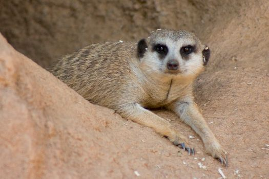 Photo free meerkat, tired, rate