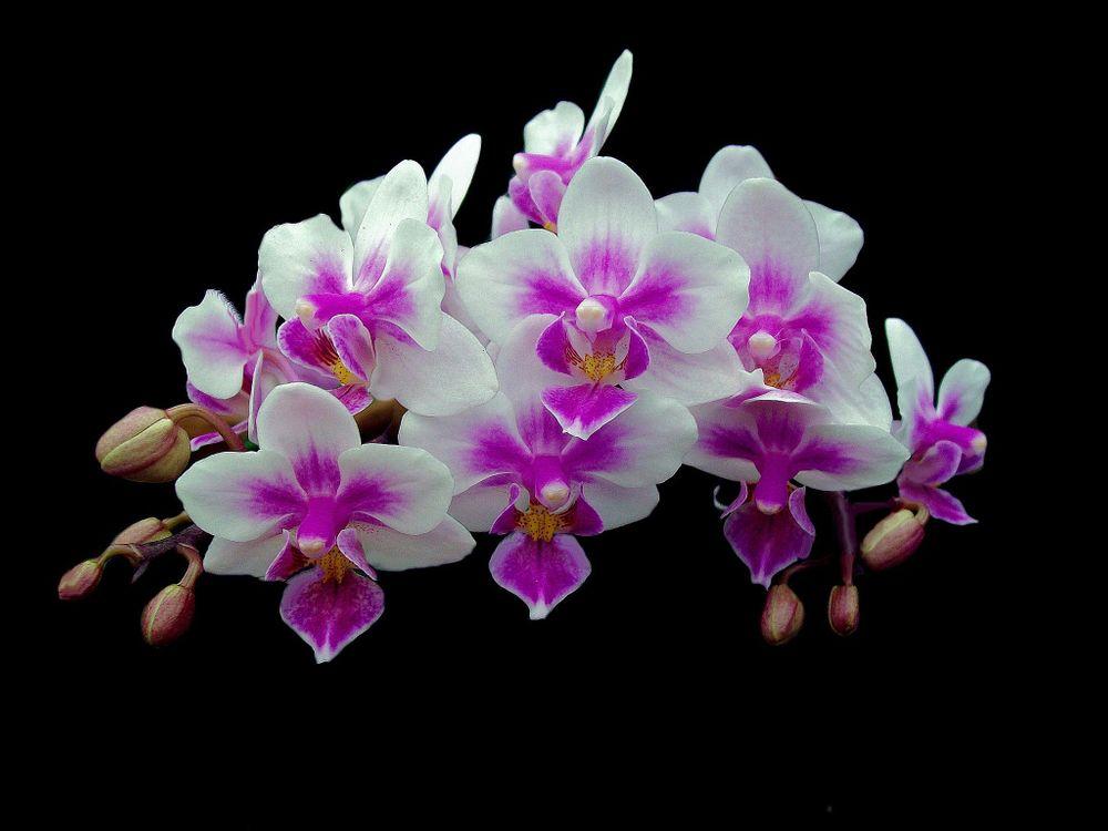 Galeandra Batemanii Orchid · бесплатная заставка