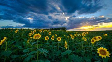 Фото бесплатно поле, летний пейзаж, красивое небо, подсолнухи, закат, цветы, небо, облака