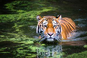 Заставки водоём, тигр, хищник