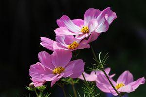Бесплатные фото Космея,Cosmos,травянистые растения семейства Астровые,цветы,чёрный фон,макро,флора