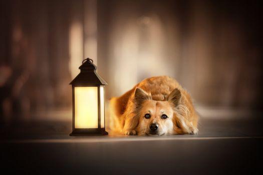 Auburn doggie with a lantern · free photo
