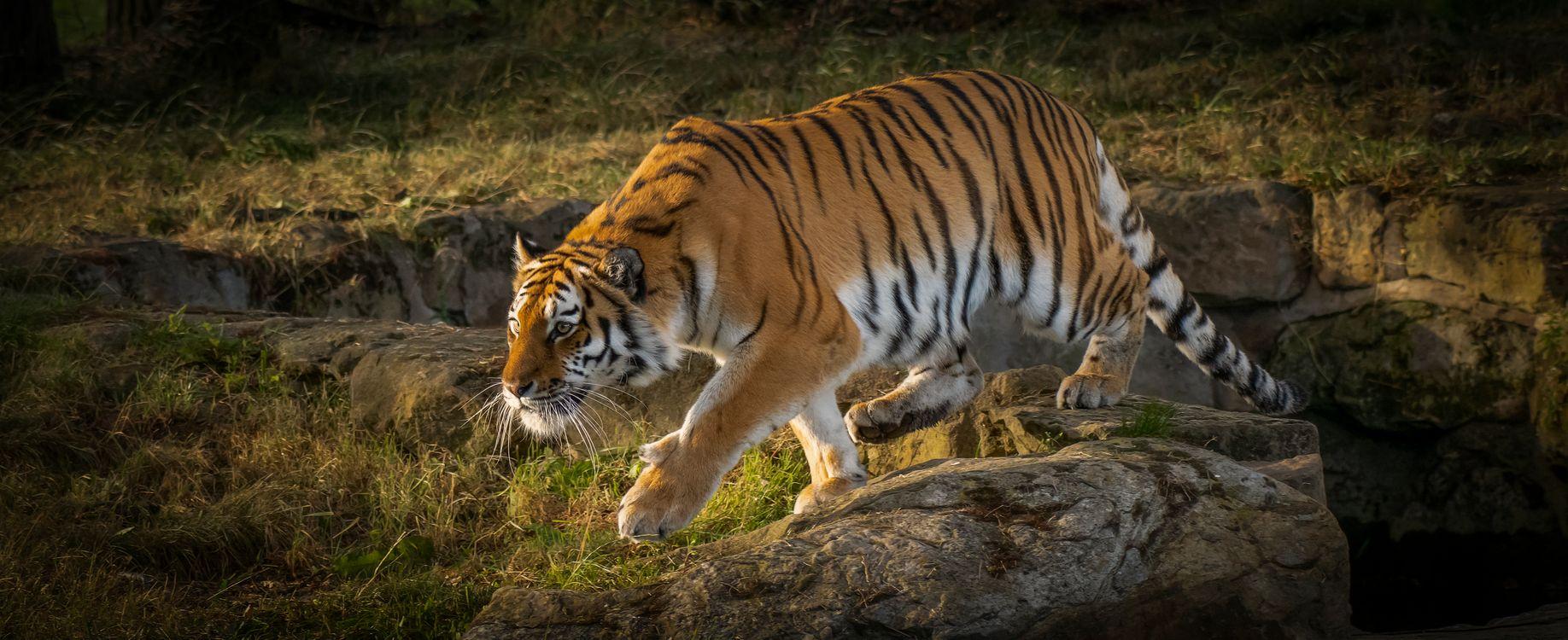 Фото амурский тигр, большая кошка больших размеров